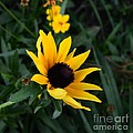 Black-eyed Susan Glows With Cheer by Luther Fine Art
