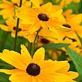 Black Eyed Susan - Flower by Jennifer Wenzel