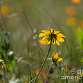 Black-eyed Susan by Louise Heusinkveld