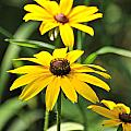 Black Eyed Susan by Marty Koch