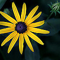 Black-eyed Susan by William Tanneberger