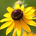 Black-eyed Susan With Friend by Lynne Jenkins