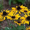 Black Eyed Susans by Photos By  Cassandra