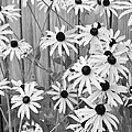 Black-eyed Susans Growing Along A Fence. by Digital Photographic Arts