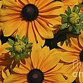 Black Eyed Susan's by Jim Hennessey