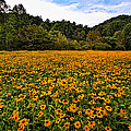 Black-eyed Susans by Mel Hensley