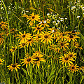 Black Eyed Susans by Paul Herrmann