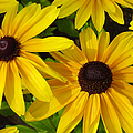 Black Eyed Susans by Suzanne Gaff