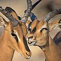 Black-faced Impalas Aepyceros Melampus by Panoramic Images