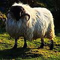 Black Faced Mountain Sheep by Aidan Moran