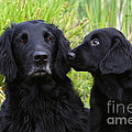 Black Flat Coated Retriever With Puppy by Dog Photos