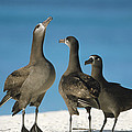 Black-footed Albatross Gamming Group by Tui De Roy