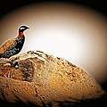 Black Francolin by Jim Cazel