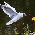 Black Head Gull - Preparing For Landing by Scott Lyons