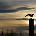 Black Headed Gull   Larus Ridibundus by James Silverthorne