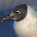 Black Headed Gull Portrait by Dave Mills