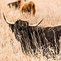 Black Highland Cow by Cheryl Baxter