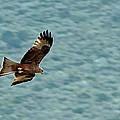 Black Kite by Tony Murtagh