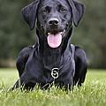 Black Labrador Dog by Johan De Meester