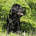 Black Labrador Dog by John Daniels