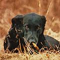 Black Labrador by Linda Sannuti