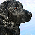 Black Labrador Retriever After The Swim by Jennie Marie Schell