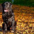 Black Labrador Retriever In Autumn Forest by Jenny Rainbow