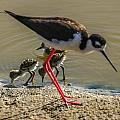Black Neck Stilt And Babies by Judy Cheley