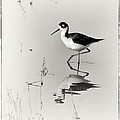 Black-necked Stilt At Carson Lake Wetlands by Priscilla Burgers