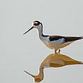 Black-necked Stilt by Doug McPherson