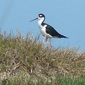 Black-necked Stilt by Eldora Schober Larson
