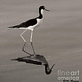 Black-necked Stilt by Vi Brown