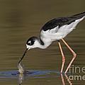 Black Necked Stilt With Fish by Bryan Keil