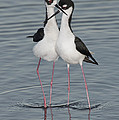Black-necked Stilts by Anthony Mercieca