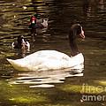 Black-necked Swan by Zina Stromberg
