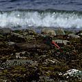 Black Oystercatcher by Will LaVigne