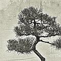 Black Pine Bonsai In Monochrome by Gary Richards