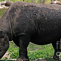Black Rhino-19 by Gary Gingrich Galleries