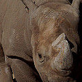 Black Rhino by Ernie Echols