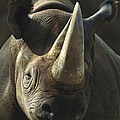 Black Rhinoceros Portrait by San Diego Zoo
