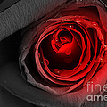 Black Rose by LR Photography
