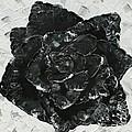 Black Rose I by Aliya Michelle