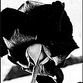Black Rose by Kathy Barney