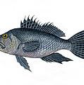 Black Sea Bass 3 by Jennifer  Creech
