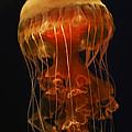 Black Sea Nettle by Hiroya Minakuchi