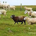 Black Sheep by Nancy L Marshall