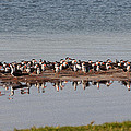 Black Skimmer Convention by John M Bailey