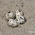 Black Skimmer Eggs by Anthony Mercieca
