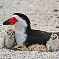 Black Skimmer Family by Barbara Bowen