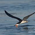 Black Skimmer Rynchops Niger Skimming by Anthony Mercieca